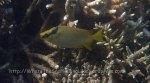 Rabbitfish_Masked-Rabbitfish-AKA-Masked-Spinefoot_Siganus-puellus_P8048197.JPG