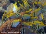 Species_Fish_Rabbitfish_Virgate-Rabbitfish_Siganus-virgatus_P8061773