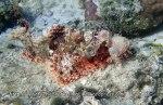 Species_Fish_Scorpionfish_Tassled-Scorpionfish_Scorpaenopsis-oxycephala_P8160077_P1018533
