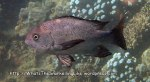 Snapper_Black-Snapper-Adult_Macolor-niger_P4092801_.JPG