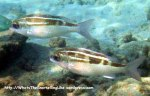 Species_Fish_Snapper_Checkered-Snapper_Lutjanus-decussatus_IMG_0836_