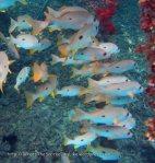 Snapper_One-Spot-Snapper_Lutjanus-monostigma_IMG_0224.jpg