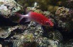 Squirrelfish_Tailspot-Squirrelfish_Sargocentron-caudimaculatum_P7095677.jpg