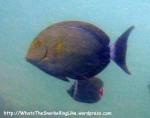 Species_Fish_Surgeonfish_Black-Surgeonfish_Acanthurus-Gahhm_P5183427_