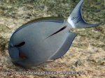 Species_Fish_Surgeonfish_Blackstreak-Surgeonfish-AKA-Black-Shoulder-Surgeonfish-AKA-Epaulette-Surgeonfish_Acanthurus-nigricaudus_P4271924_Similan__