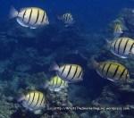 Surgeonfish_Convict-Tang_Acanthurus-triostegus_P1257937_.jpg