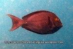 Surgeonfish_Dark-Surgeonfish_Acanthurus-nubilus_P4154305_.jpg
