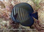 Surgeonfish_Indian-Sailfin-Tang_Zebrasoma-desjardinii-juvenile_P4133873_.JPG