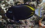 Surgeonfish_Japanese-Surgeonfish_Acanthurus-japonicus_P7075317.jpg