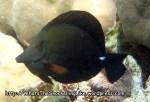 Surgeonfish_Longnose-Tang_Zebrasoma-rostratum_P4082579_.JPG
