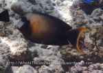 Surgeonfish_Mimic-Surgeonfish_Acanthurus-pyroferus_P7105753.jpg