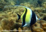 Species_Fish_Surgeonfish_Moorish-Idol_Zanclus-cornutus_P5042331_new