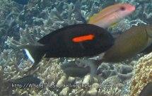 Surgeonfish_Orangeband-Surgeonfish_Acanthurus-olivaceus_IMG_0352_.jpg