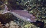 Surgeonfish_Unicornfish_Humpback-Unicornfish_Naso-bracchycentron_P7095563.JPG