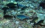 Surgeonfish_Unicornfish_Sleek-Unicornfish_Naso-hexacanthus_IMG_8987.jpg