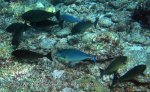 Species_Fish_Surgeonfish_Unicornfish_Sleek-Unicornfish-AKA-Blacktongue-Unicornfish_Naso-hexacanthus_P8038087