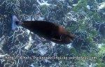 Surgeonfish_Unicornfish_Spotted-Unicornfish_Naso-brevirostris_P4241433_.jpg