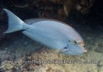 Surgeonfish_Yellowmask-Surgeonfish_Acanthurus-mata_P1273871_.JPG