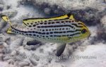 Sweetlips_Oriental-Sweetlips-Early-Adult_Plectorbyncbus-vittatus_P1162806_.jpg