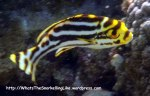 Species_Fish_Sweetlips_Oriental-Sweetlips-Juvenile_Plectorbyncbus-vittatus_P6190456_