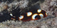 Species_Fish_Sweetlips_Oriental-Sweetlips-young-juvenile_Plectorbyncbus-vittatus_P4210530_