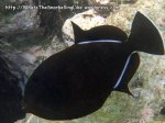 Triggerfish_Indian-Triggerfish_Melichthys-indicus_P4092827_.jpg