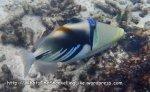 Triggerfish_Picasso-Triggerfish_Rhinecanthus-aculeatus_P4210347_