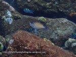 Triggerfish_Scythe-Triggerfish_Sufflamen-bursa_P4062033_.JPG