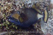 Triggerfish_Titan_Balistoids-viridescens_P7276893 Togeans.JPG