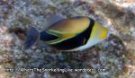 Triggerfish_Wedgetail-Triggerfish_Rhinecanthus-rectangulus_P4190021_v2.jpg