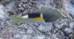 Wrasse_Anchor-Tuskfish_Choerodon-anchorago_P7276763.JPG