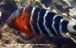 Species_Fish_Wrasse_Redbreasted-Wrasse_Cheilinus-fasciatus_P8092134