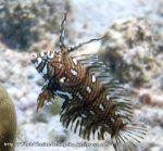 Wrasse_Rockmover-juvenile_Novaculichthys-taeniourus_P4220846_.jpg