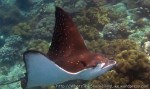 Species_Other_Rays_White-Spotted-Eagleray_Aetobatus-narinari_.jpg