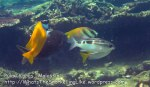 010 Foxface-Virgate-Honeycomb-Rabbitfish-Checkered-Snapper_IMG_1446.jpg