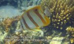 020 A-Long-Beaked-Coralfish_IMG_1133.jpg
