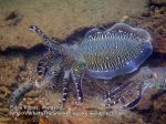 063 CD-Cuttlefish-glow_P8163144.JPG