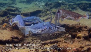 064 CD_cuttlefish-group_P8163149_.JPG