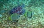 084 I-Batfish-Chase_IMG_1739_.jpg