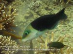 202 L-Blackedged-Thicklip-Wrasse_IMG_1790_.jpg