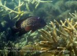 282 OQ-Blue-Spotted-Grouper_IMG_1127_.jpg