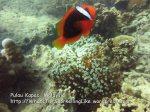 284 OQ-Tomato-Anemonefish_IMG_1116.jpg