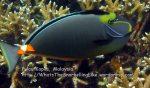 301 ST-Channel-surgeonfish_IMG_1864_.jpg