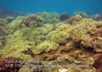 310 U-Yellow-Softcoral_IMG_1618_.jpg