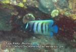 320 W-6-Banded-Angelfish_IMG_1614_.jpg