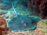 322 W-Whitetail-stingray_IMG_1615_.jpg
