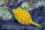 354 Z-Yellow-boxfish_P8163425_.jpg