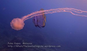951 GPP-Jelly-and-Batfish_P8153008.JPG