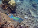 Malay_Perhentian_0111_1a_Parrotfish_P8061781.JPG