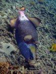 Malay_Perhentian_0117_1a_Titan-Triggerfish_P8061791.JPG